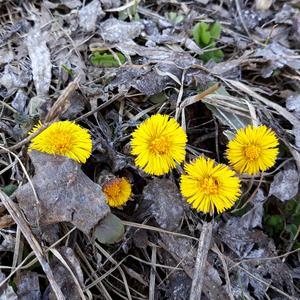 А на проталинах уже мать-и мачеха цветёт