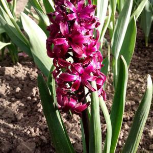 Пурпурно атласный гиацинт