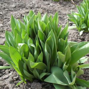 Наши тюльпаны