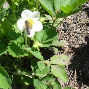 Клубника и пчела