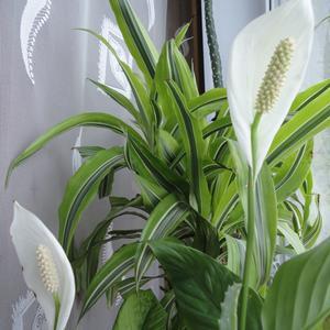 Цветёт спатифиллум