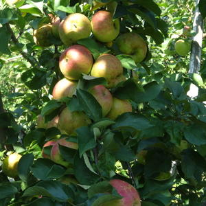 Эх, яблочки.....