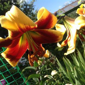 Роскошная лилия Дебби