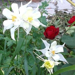 Белый водосбор и розы