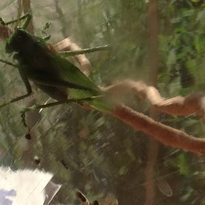 Зеленая саранча