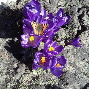 Первые цветы и бабочки 16.03.15