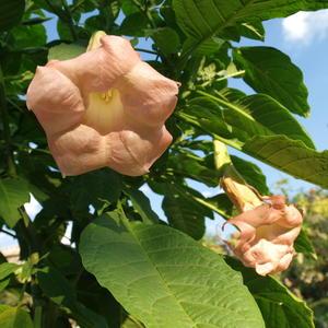 Цветет моя любимая бругмансия