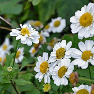 Белые ромашки-сестрички в октябре