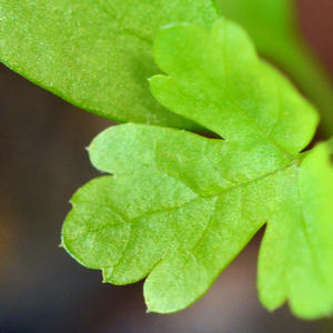 Молоденький листик петрушки