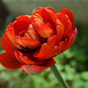 Пылает счастьем красненький тюльпан,  похожий на изысканный пион. И улетают сразу все печали, Когда он в огороде зацветет…