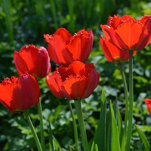 Пылают счастьем красные тюльпаны, Слегка склонившись аленьким цветком, В огне таком сгорают все печали И улетают с лёгким ветерком