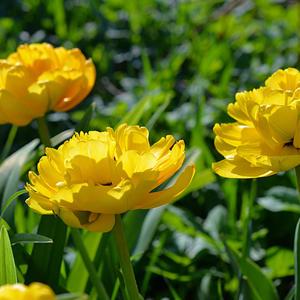 Ты знаешь, как пахнут тюльпаны? Свежестью, нежностью, чистотой. Они пахнут мамой, Любовью, ее теплотой