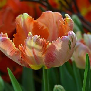 Цветок изящен, безупречен, строен, Любви желает, он её достоин...