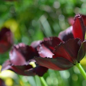 Бахромчатый Black Jewel