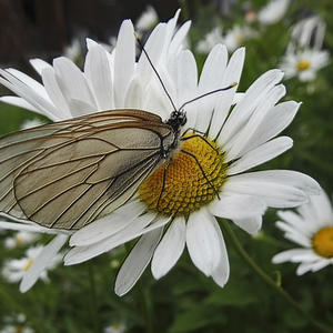 Этот цветок обниму и забираю, на ромашке погадаю…