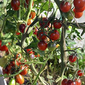 Время спелых томатов...