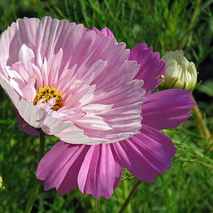 Космея Мадмуазель розовая
