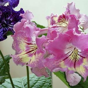 Стрептокарпус Розовые Сны