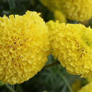 Как Солнца лучики они светлы, красивые и жёлтые цветы…