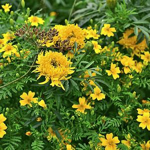 Все неприятности в судьбе, поверьте, не от цвета! Сажайте желтые цветы. Они вам дарят лето!