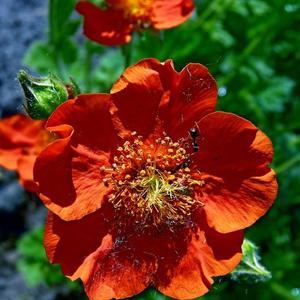 Цветёт, природе вопреки, в саду, как пламя, гравилат...