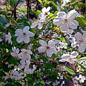 Цветущей вишни аромат вдыхаю...