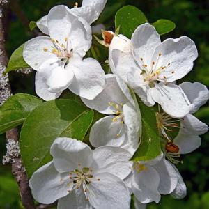 Нежнейший яблоневый цвет с его тончайшим ароматом...