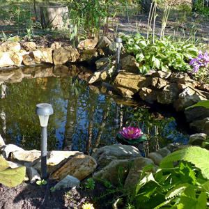Распустилась лилия на моём пруду...