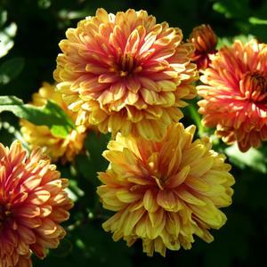 Солнечный свет хризантем...