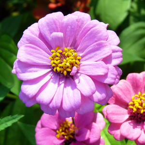 Жизнерадостные циннии - любимые мною цветы...