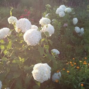 Моя Гортензия цветет