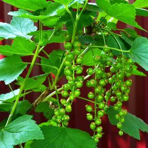 Красная зеленая смородина