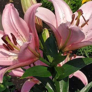Лилия бело-розовая