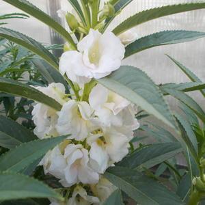 Цветет белый бальзамин