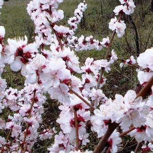 Цветет японская вишня