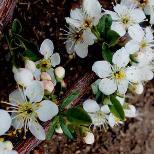 У войлочной вишни ветки густо усыпаны цветками