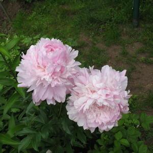 Сара Бернар. Первые цветы
