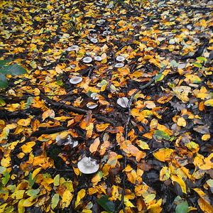 Осенняя рядовка... замечательные грибочки