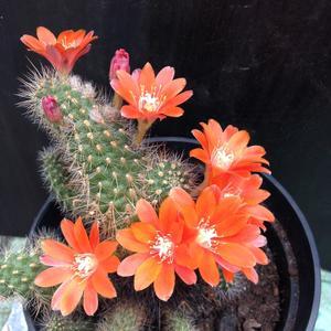 Ребуция радует цветением