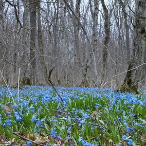 Первоцветы бушуют... Такой лес у нас сейчас