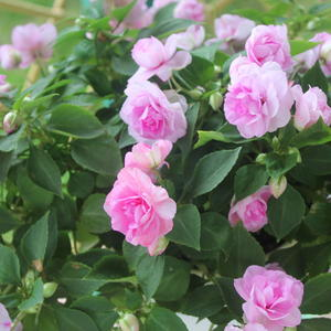 Бальзамин в любимом цвете