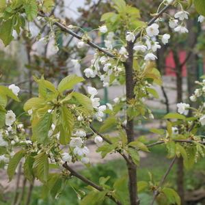 Первое цветение черешни Тютчевка