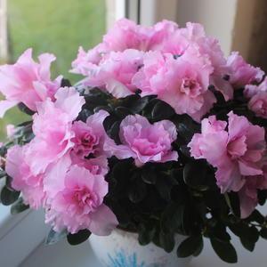 Розовый наряд азалии