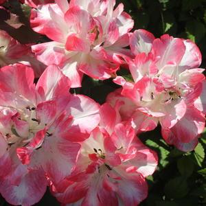 Тюльпан Картуш, цветок до 15 см!