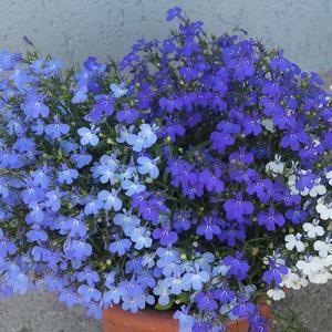 Лобелия, синий микс