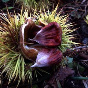 Неопыленные семена каштана посевного