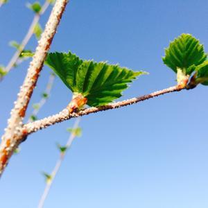 Клейкие апрельские листочки