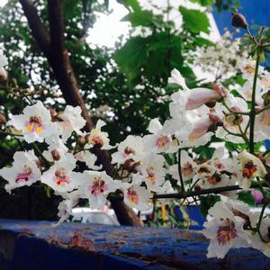 Катальпа цветет