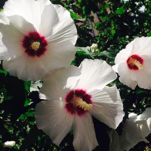 Время цветения гибискусов