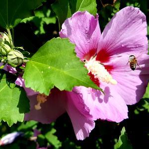 Волнуется, жужжит пчела - цветок большой, а я мала ...